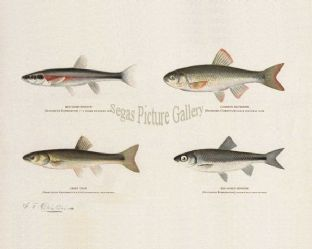 Minnow, Red-Sided; Common Silverside, Creek Chub, Red-Nosed Minno